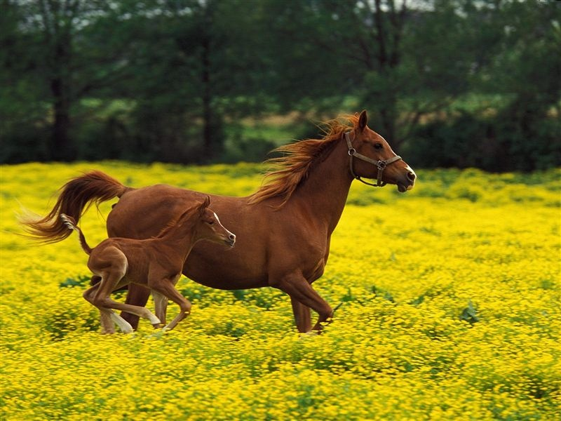 800-Arabian_Mare_and_Foal,_Louisville,_Kentucky